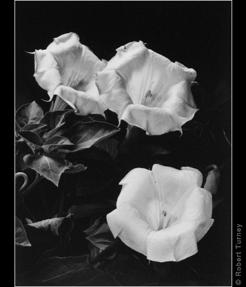 Moonflowers 8 gelatin silver print by Photographer Robert Turney