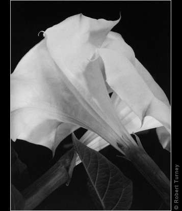 Moonflowers 9 gelatin silver print by Photographer Robert Turney
